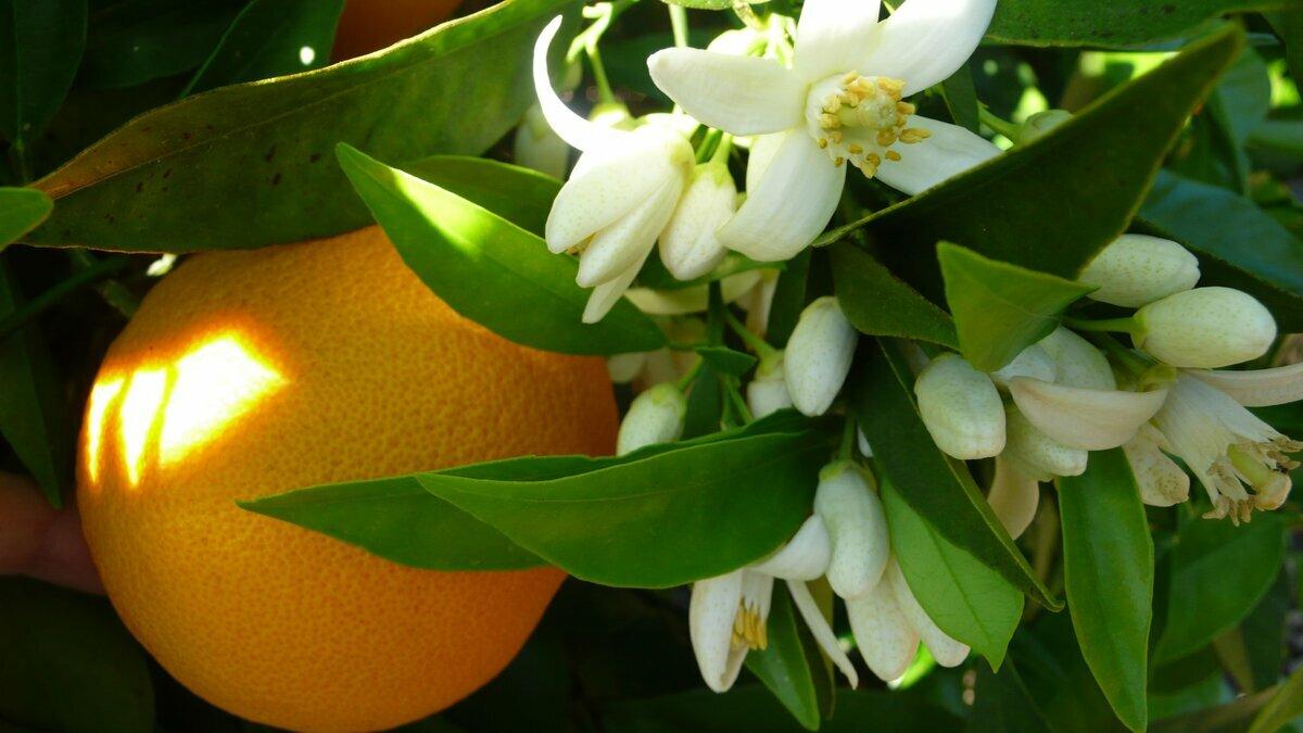 считает, что картинка цветок апельсина сколько разместить