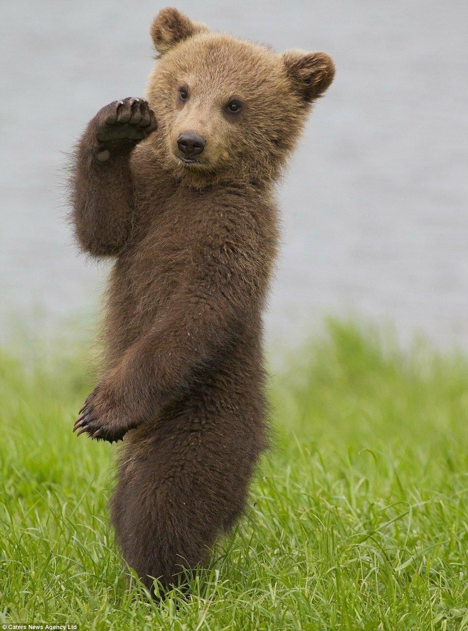 такому изображению, красивые медвежата картинки этой статье