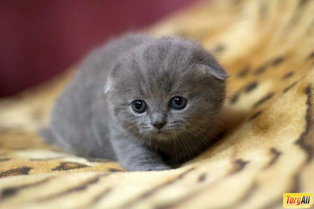 Картинки маленькие котята вислоухие