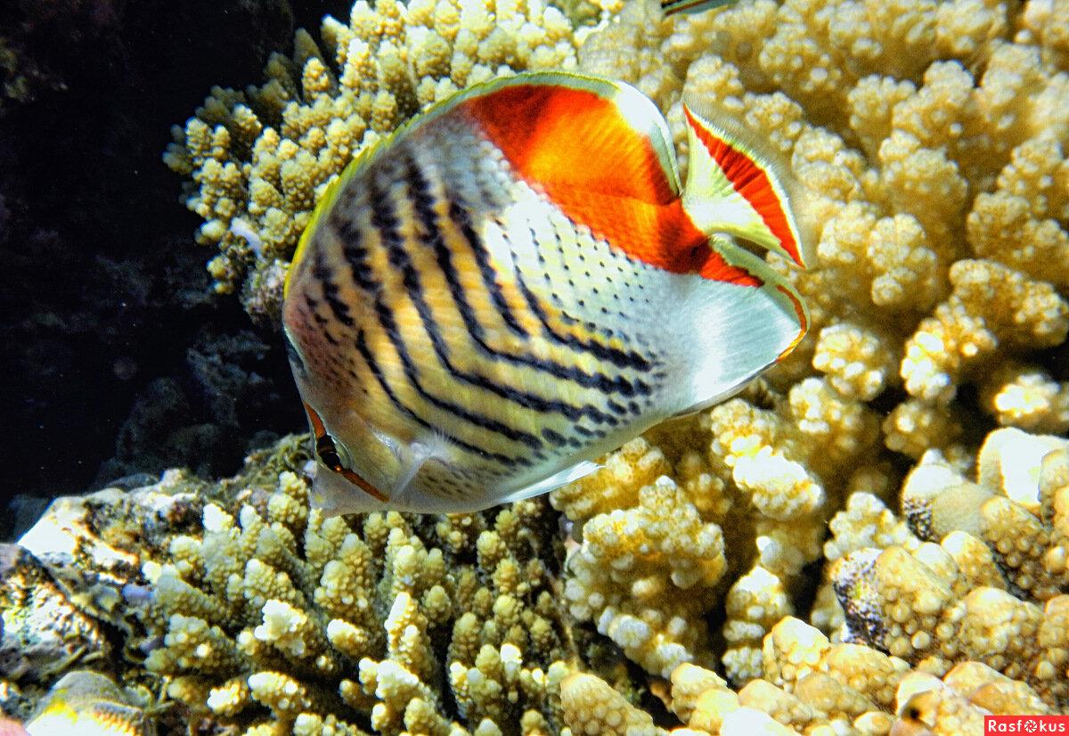 фото рыбы красного моря фото с описанием стола