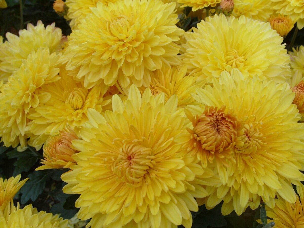 хризантема новые сорта фото местность