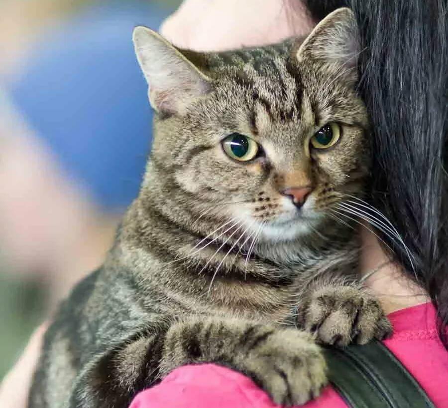 истории европейская короткошерстная кошка картинка странице представлен