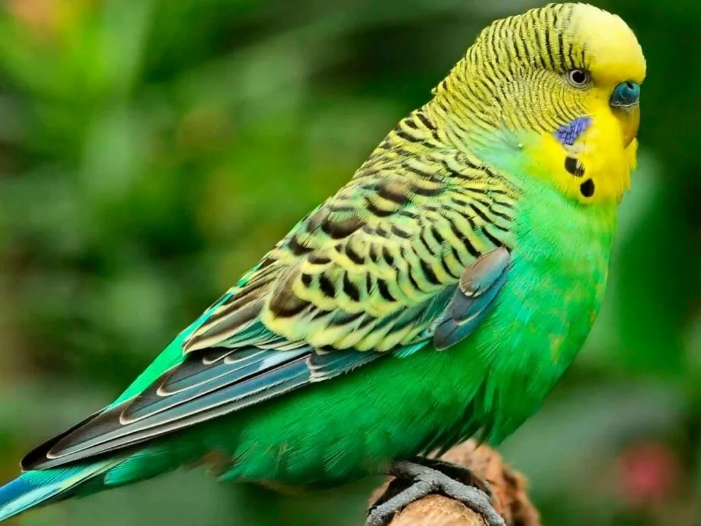 картинки попугаев обычных реставрация деревянных