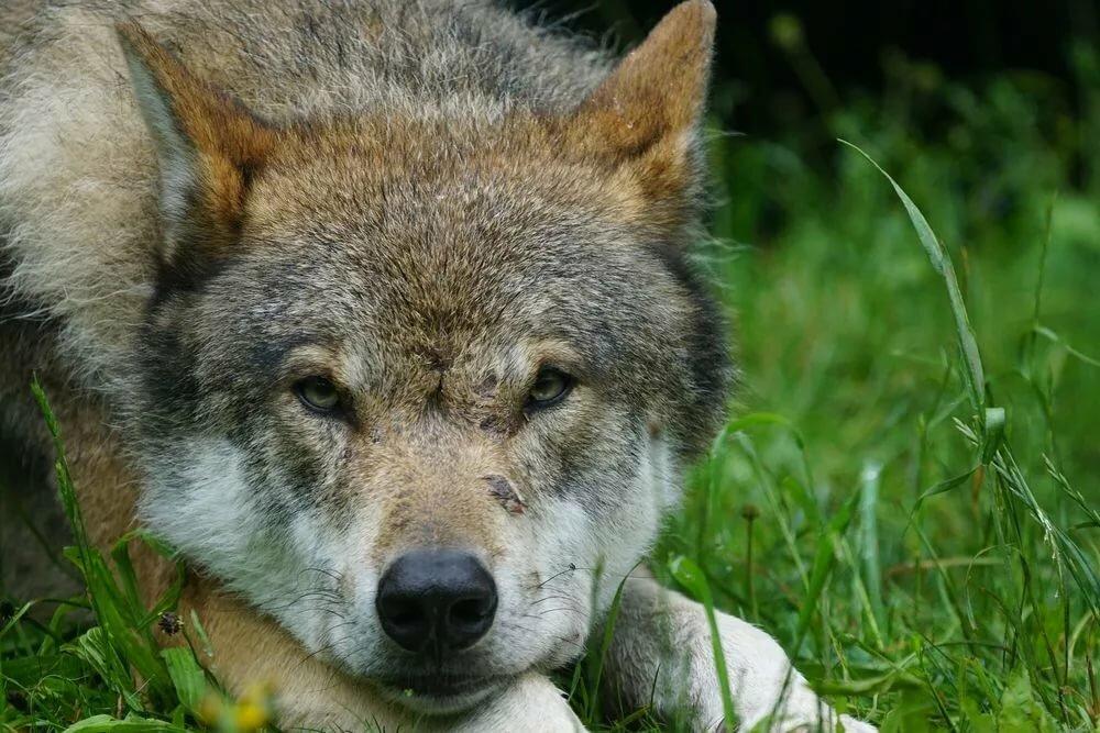 сделать картинка лежащего волка выявляются