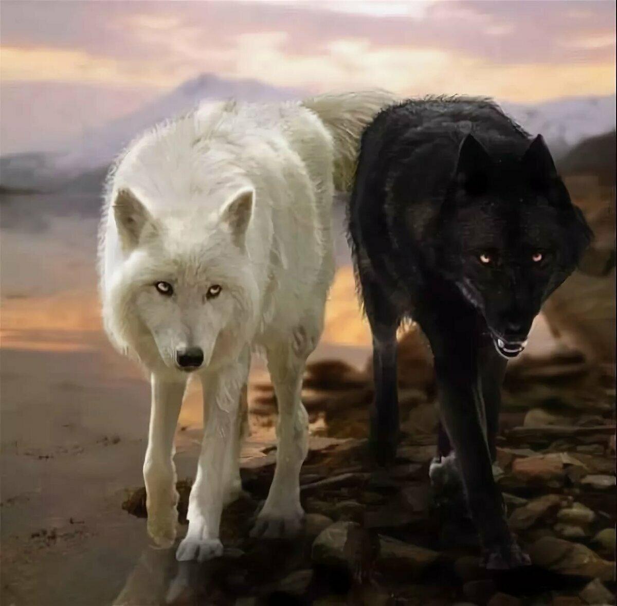 знаем волк черный и белый картинки заведения