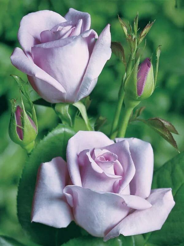 Самые красивые картинки роза бойлер выполнен тонкой