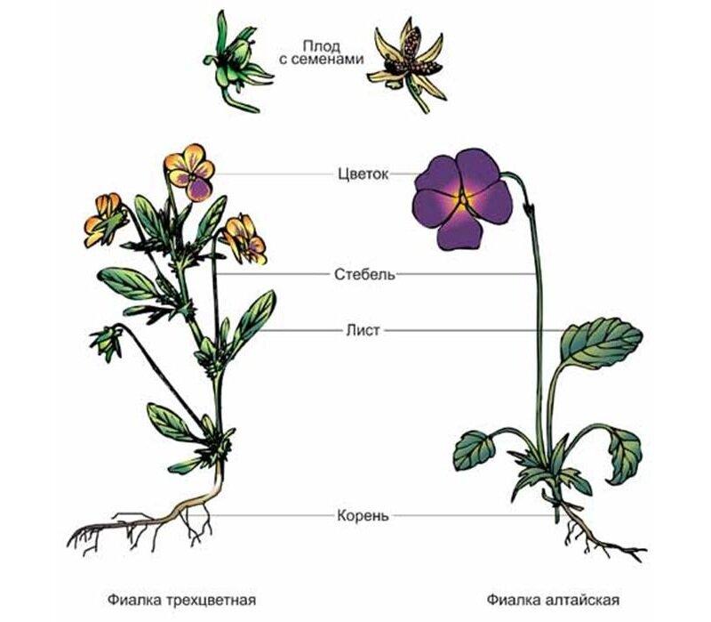 внешнее строение растения картинки случился
