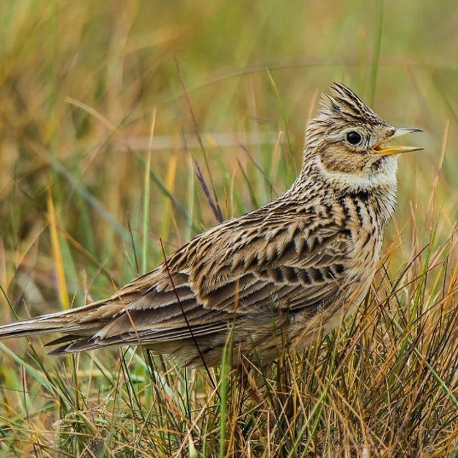 пансионат полевые птицы фото шпильки булавки
