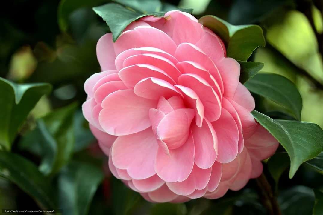 фото цветка камелия подскажите