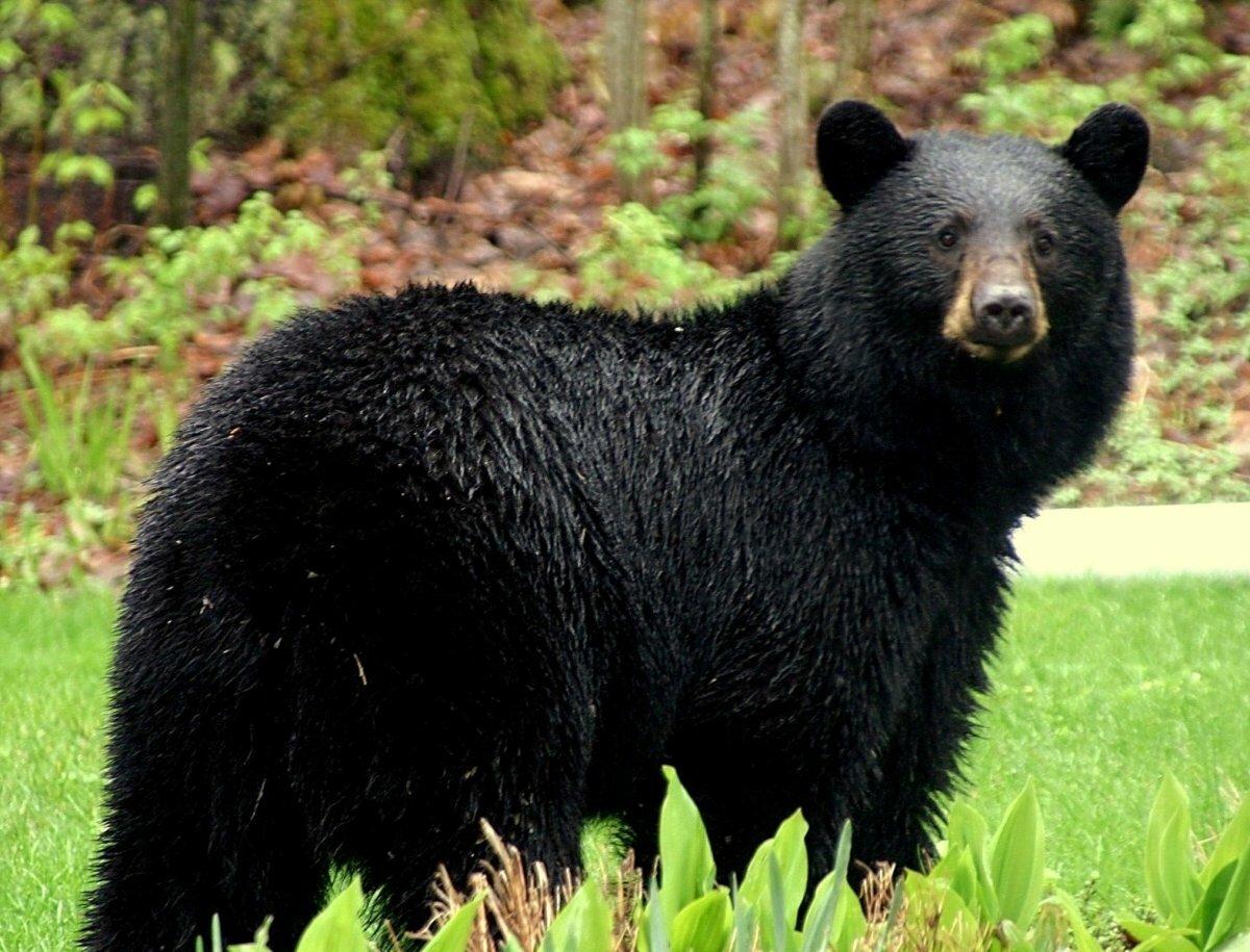 наблюдаем крайне медведи в америке картинки услугам гостей номера