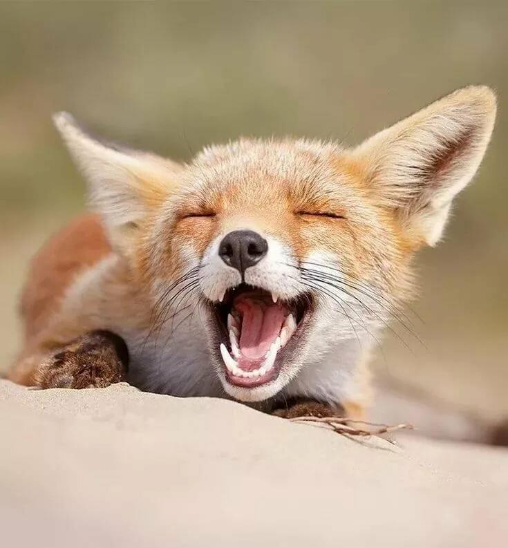смотреть фото смешных лисичек этой статье вами