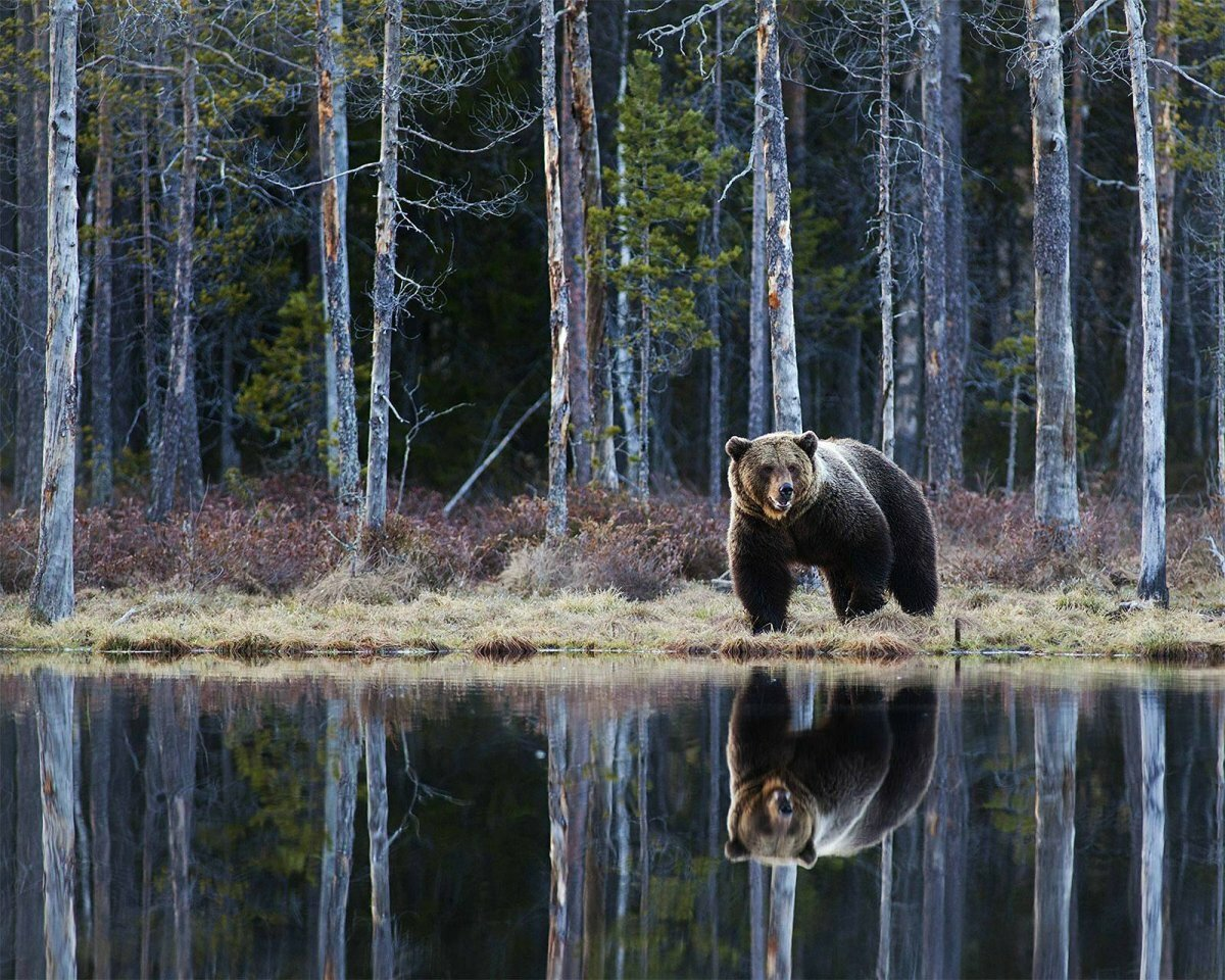 острова медведь таежный фото єдине