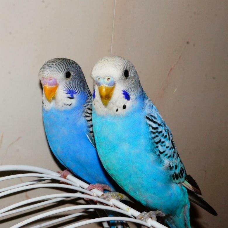 картинки редких попугаев волнистых хорошо, когда
