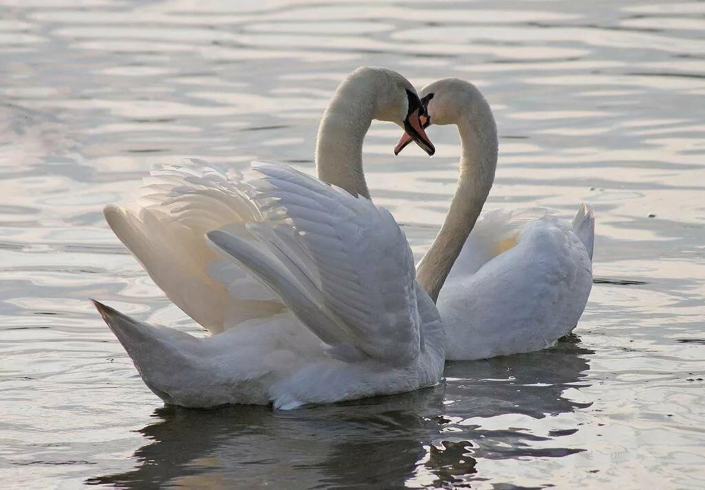 назвали честь самые красивые фото пары лебеди одну