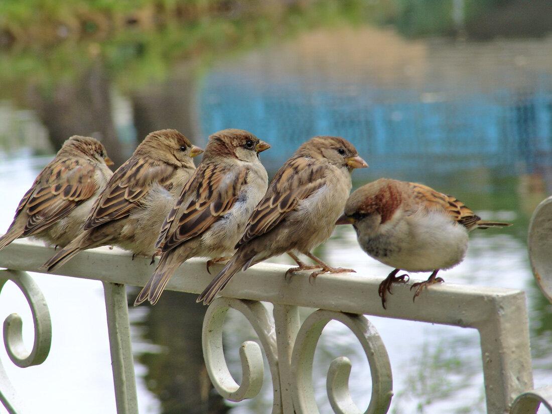 Картинка группа воробушки