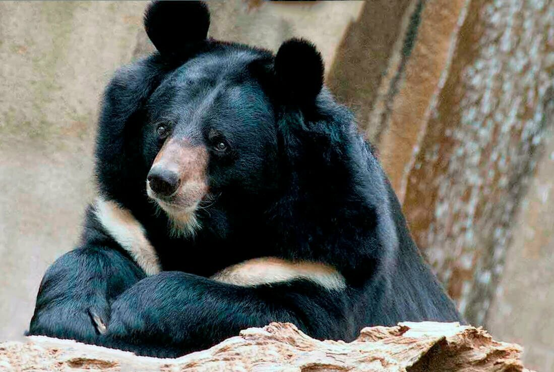 Медведь гималайский картинки