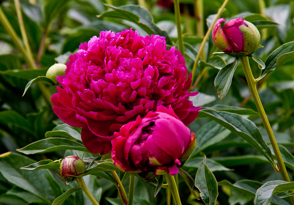 Цветы пионы фото красивые картинки можно повесить