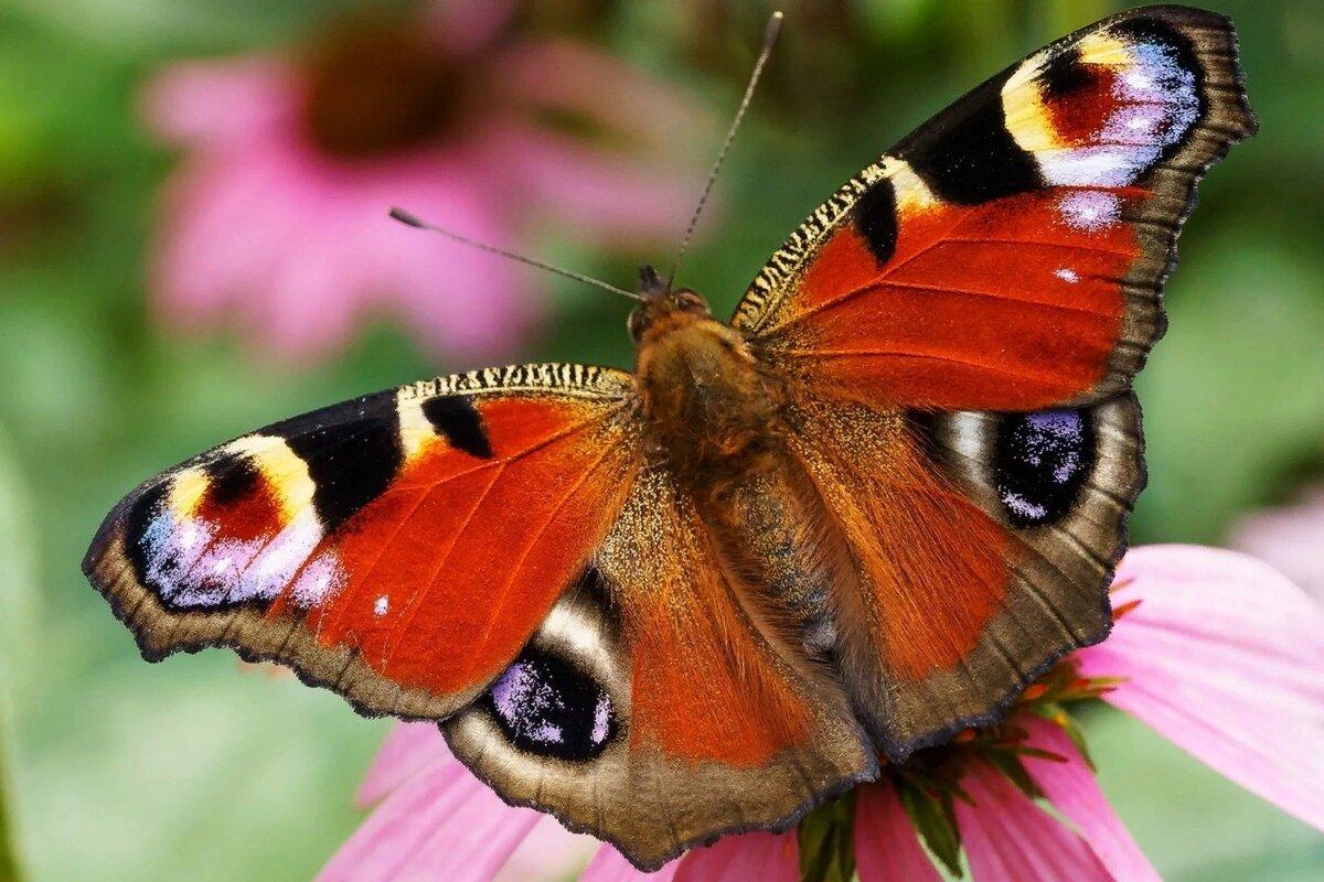 Бабочки дневные картинки
