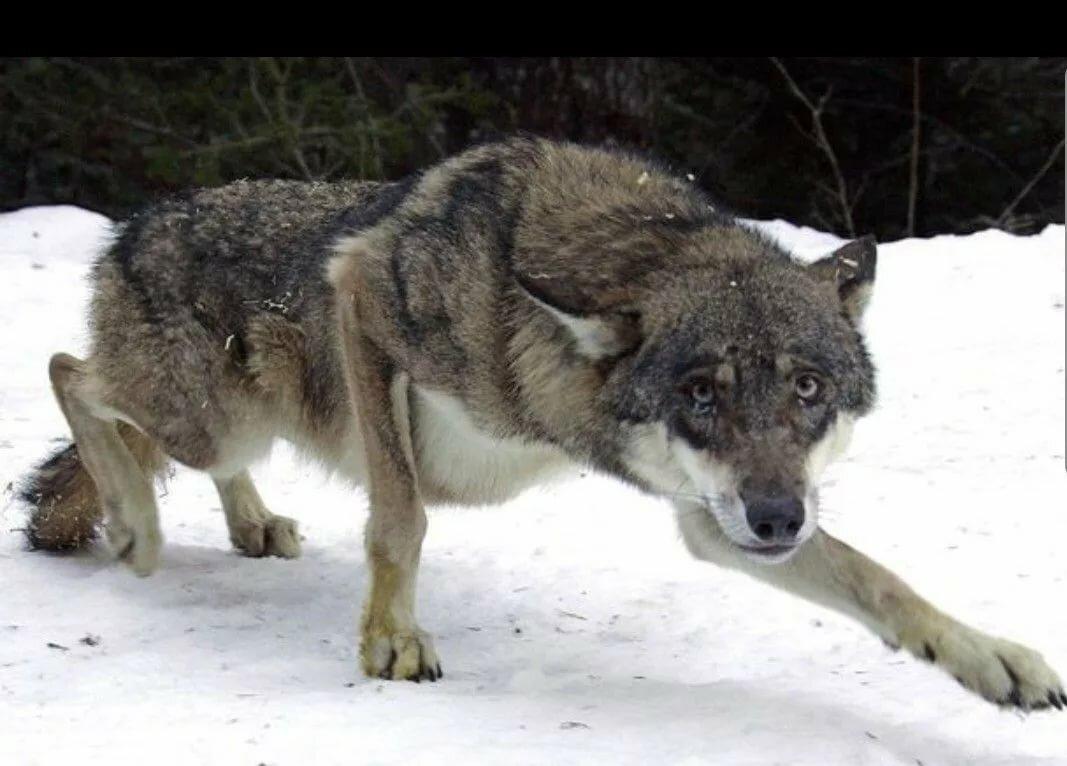 картинки страдающего волка новичкам лучше начать