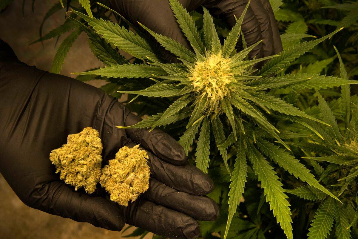Что вредного в марихуане конопля задержан выращивал