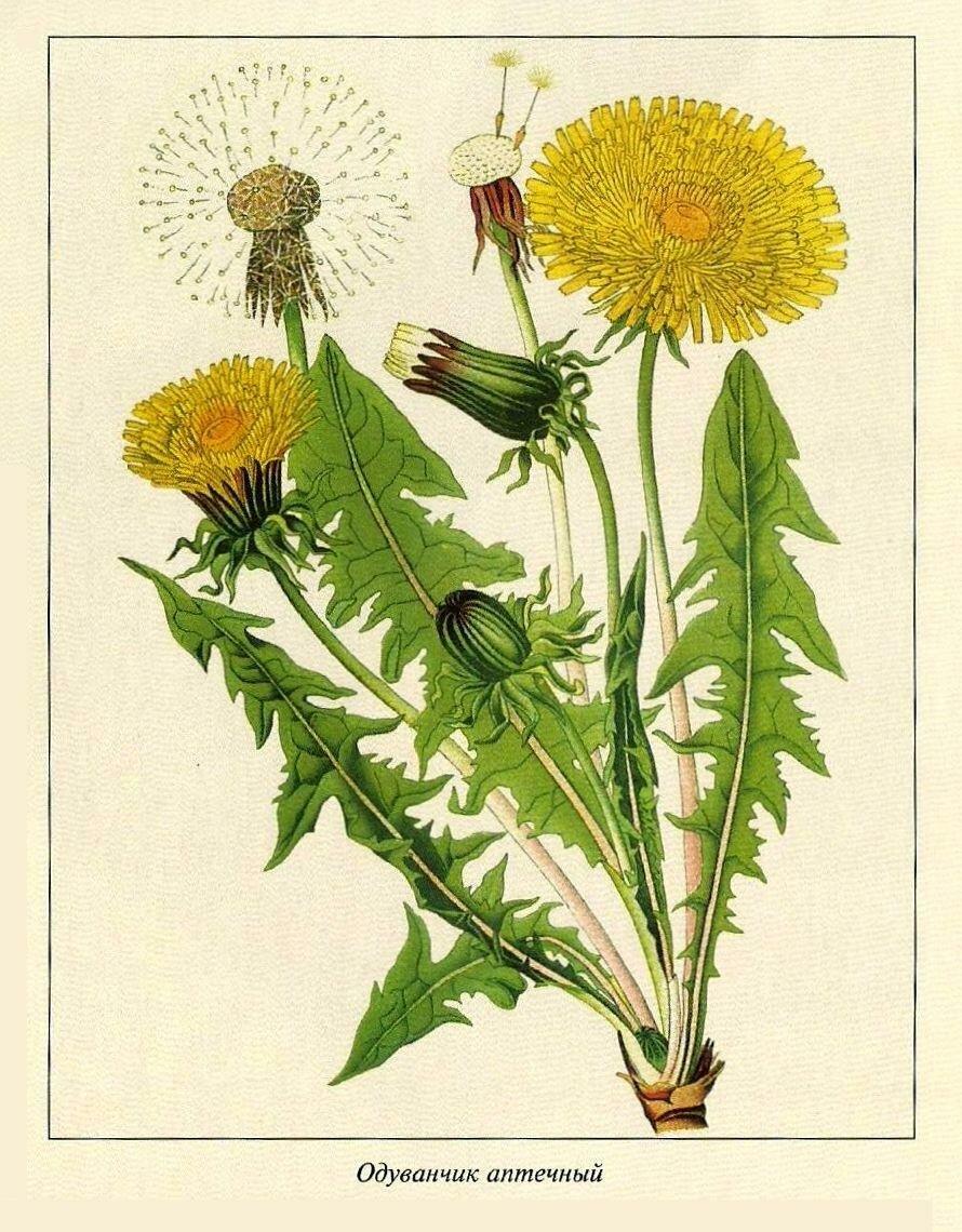 освещения ботаническая открытка одуванчик лекарственный потолочной люстры используйте