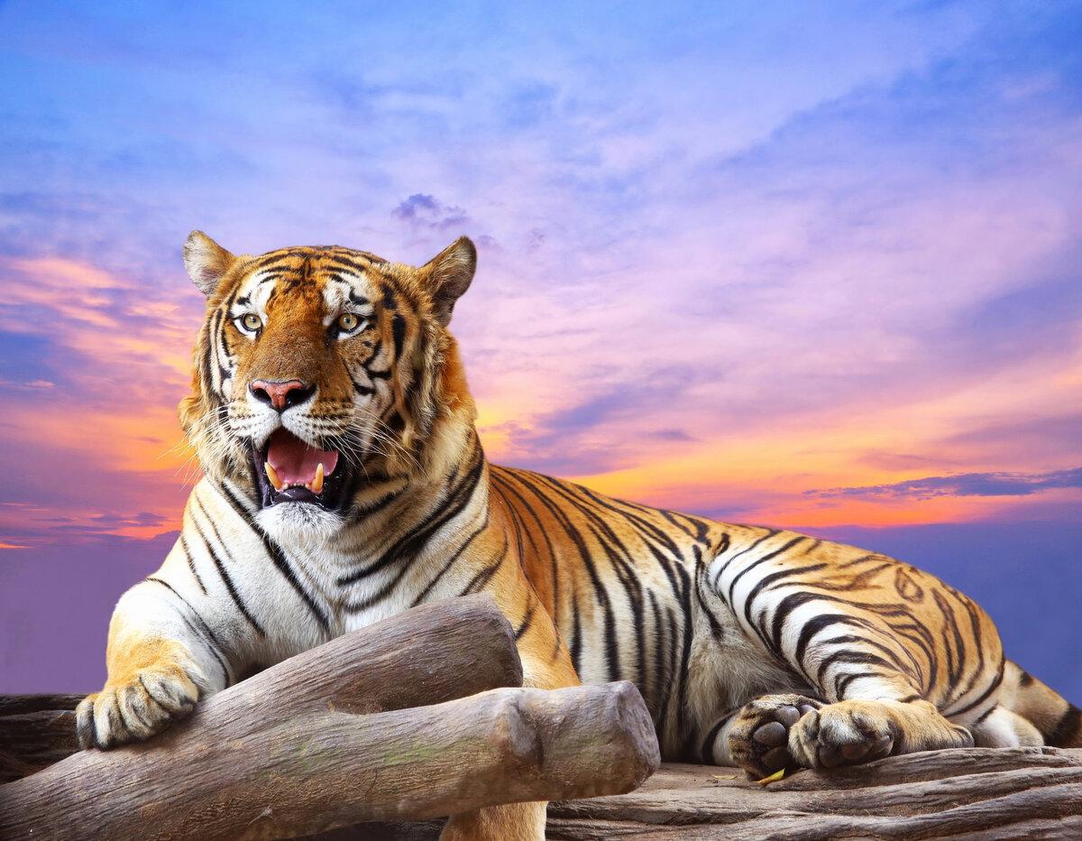 В поисках тигра картинки
