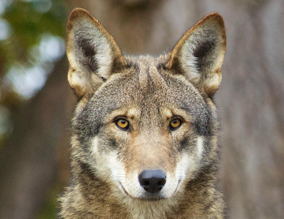Фотографии степного волка