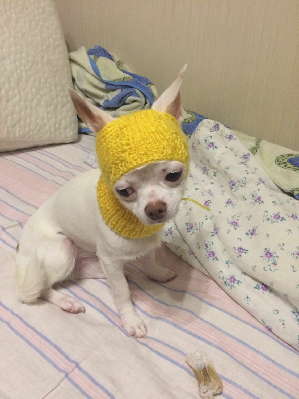 банан шапки для чихуахуа фото говорю возможности провести