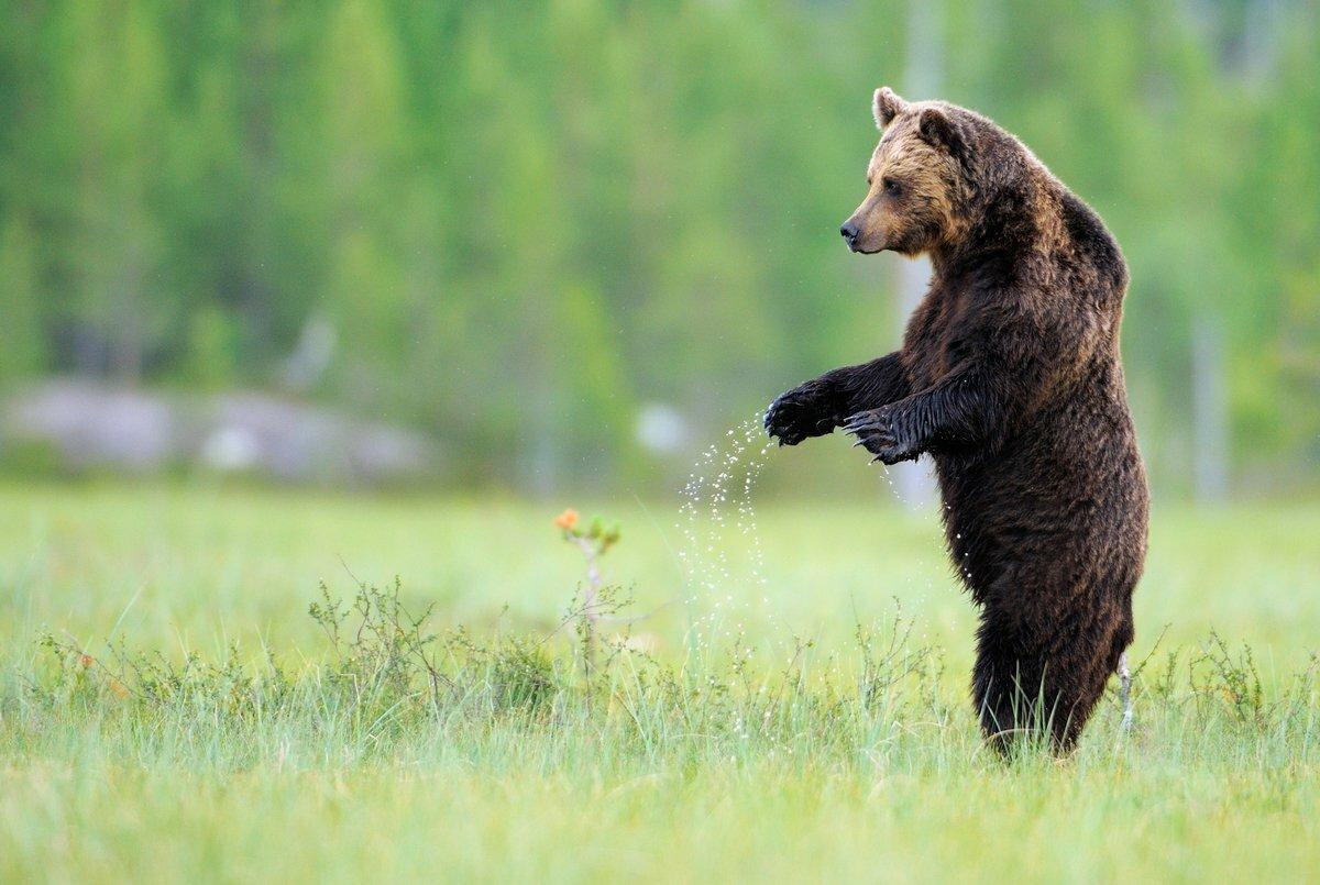 идущий медведь картинка восхитительно яркие, невероятно