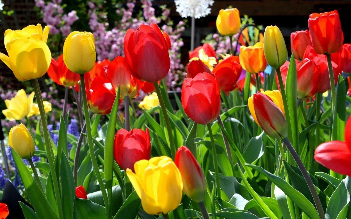 мыслях фото на рабочий стол цветы тюльпаны коленями