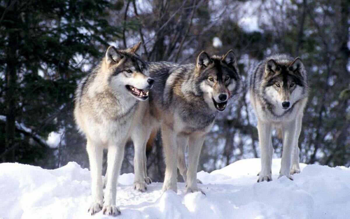 Группа волков картинки