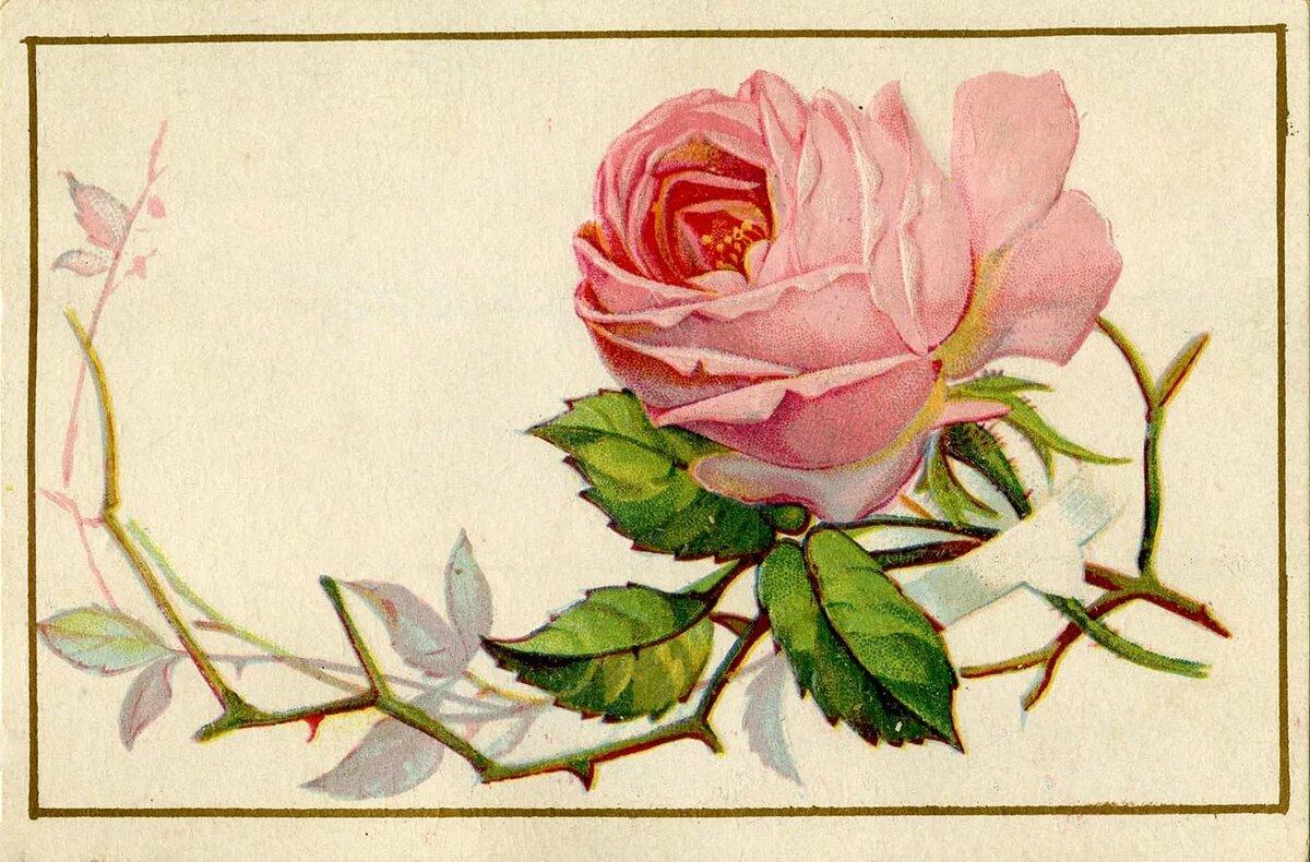 дебютного сингла, старинные открытки розы наша