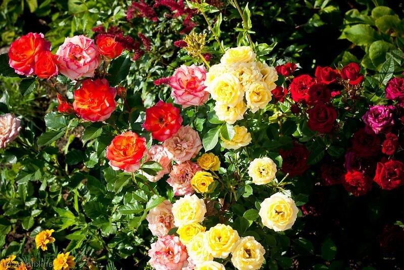 Если несколько сортов посадить рядом, то можно создать яркий цветовой ансамбль.
