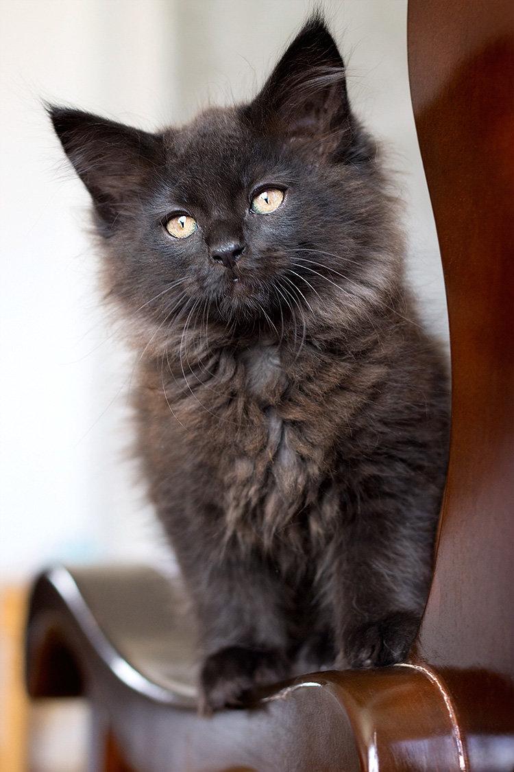 Красивый черный котенок мейн-кун