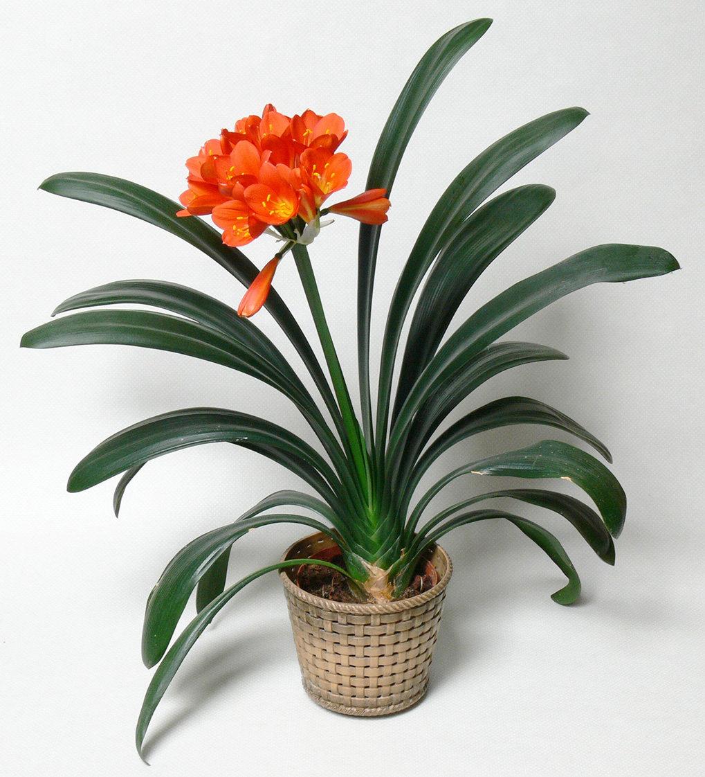 Картинка комнатного растения кливия