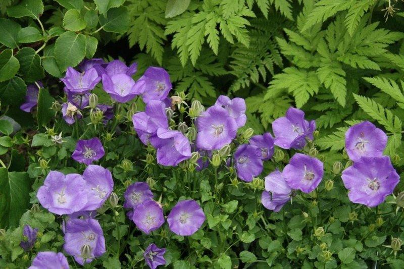 Колокольчик карпатский (Campanula carpatica), сорт «Blaue Clips». Безусловно, лучший по обильноцветности и сугубо практическим характеристикам сорт колокольчика карпатского.