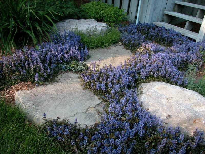 Ползучие растения для сада фото