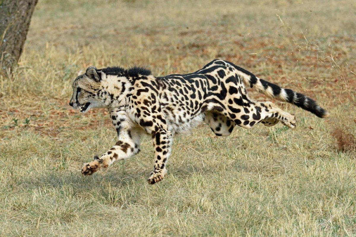 забронировали картинки королевские гепарды могут быть