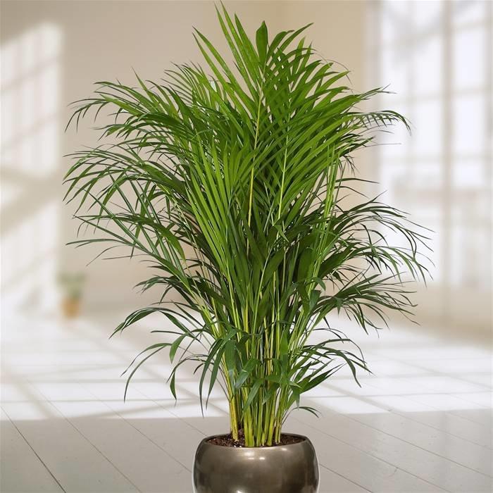 оформлению кухни пальмовые комнатные растения фото с названиями охранников
