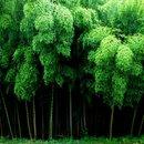 Бамбуковый лес, Япония