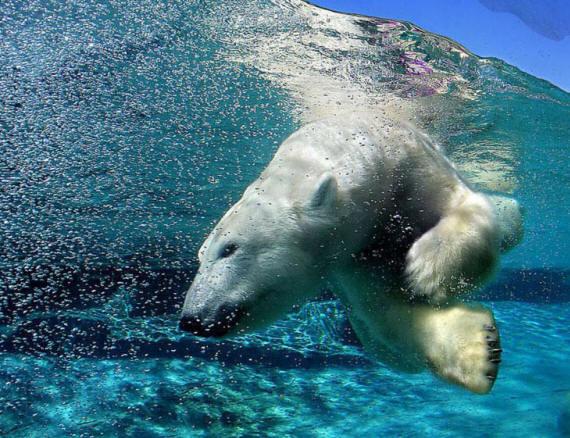 Белые медведи в фотографии