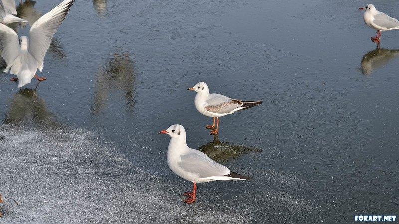 Чайки на льду - Чайки - Фотоальбом - Фото-картинки  плюс