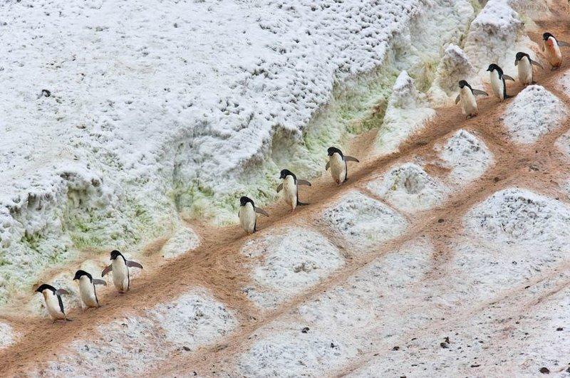 Пингвины идут в ряд