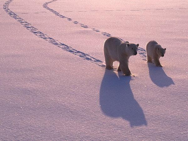 Роза ветров.Север: Белый медведь - повелитель льдов