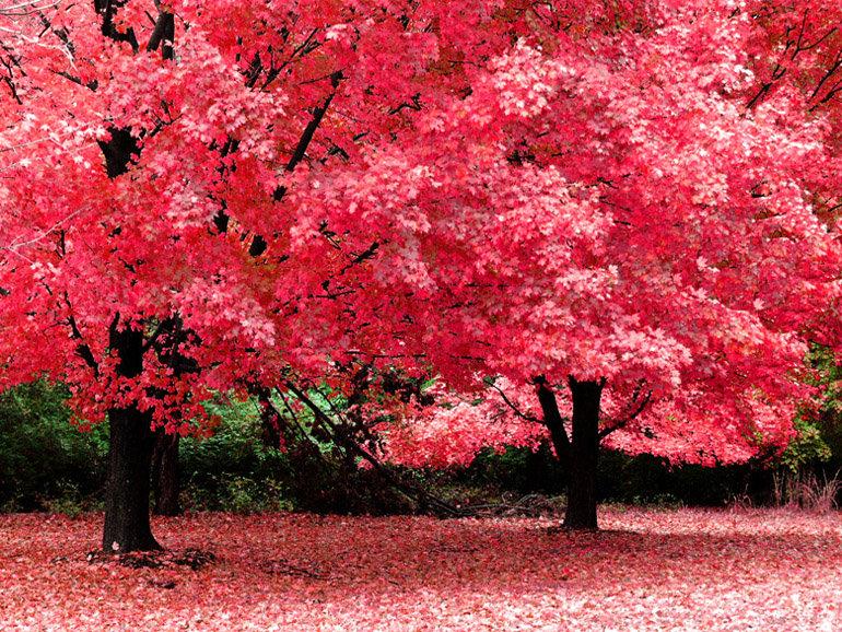 Розовая листва