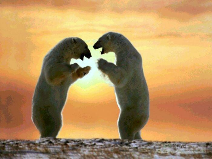 Танцующие белые медведи обои, фото фотография картинка обои