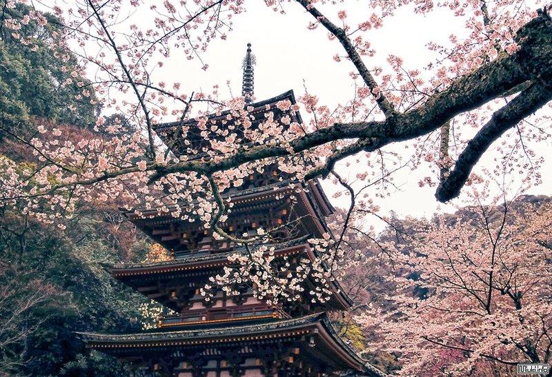 Цветение сакуры весной
