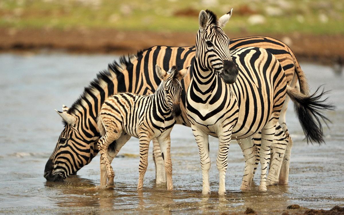 Днем рождения, картинка зебра с детенышем