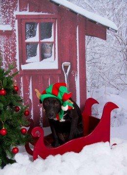 Собака в санях