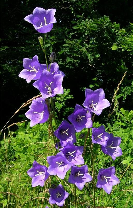 Колокольчик персиколистный - растение высотой 80—90 см с прямыми тонкими облиственными стеблями и с гладкими продолговатыми листьями. Цветки колокольчатой формы, длиной 4— 5 см